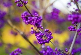 Top 10 Quick-Growing Shrubs