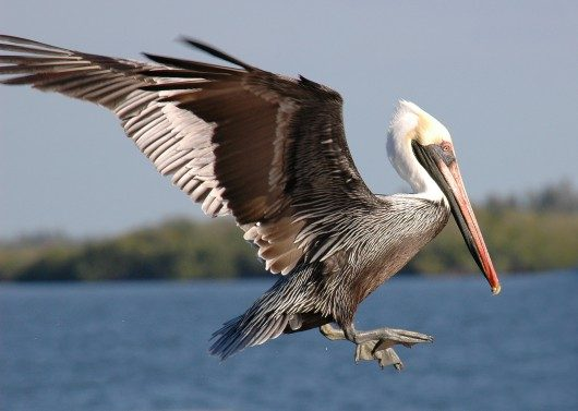 Brown pelican flying birds and blooms