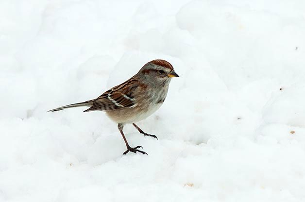 Bird Species Profile: American Tree Sparrow