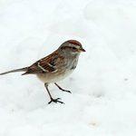 Bird Species Profile: American Tree Sparrow