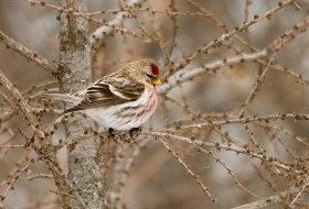 Look for Common Redpolls this Winter