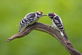 Identifying Downy & Hairy Woodpeckers