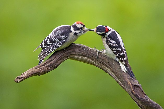 Identifying Downy & Hairy Woodpeckers | Birds & Blooms Magazine
