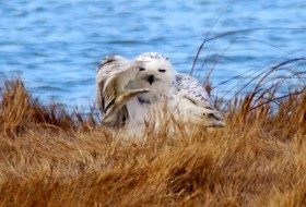 Snowy Owl Salute | You Don't Say | Birds & Blooms Magazine