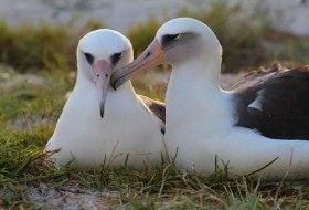 Wisdom the Albatross Is Back!