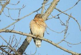 Bird Species Profile: Red-shouldered Hawk