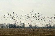 Sandhill Cranes Moving South