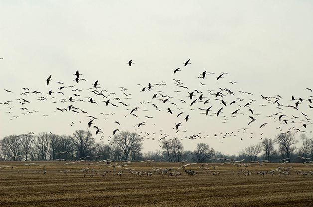 Sandhill Cranes Moving South