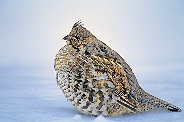 Unlike many birds, ruffed grouse are able to digest the buds and twigs of aspen and birch trees, a food source that helps them survive extreme winters.
