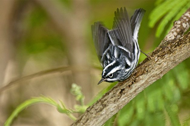 Black-and-white warblers (and about 35 other warbler species) wow visitors of northwest Ohio each spring.