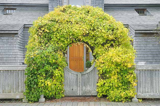 In order to keep vining plants like this climbing hydrangea looking great, use pole pruners for hard-to-reach spaces.