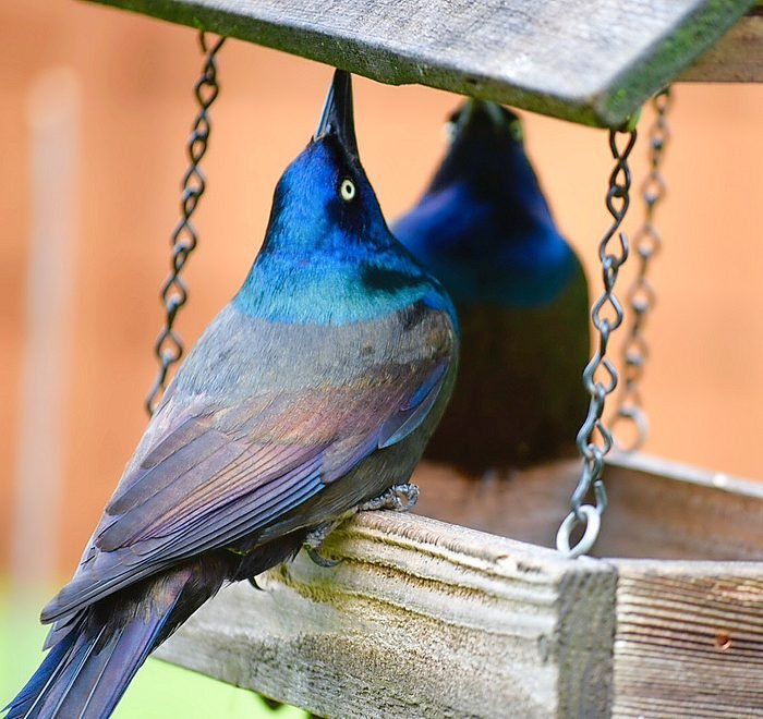 common grackles on bird feeder