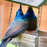 How to Get Rid of Grackles and Blackbirds at Feeders