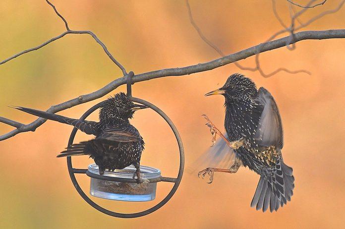starlings backyard birdwatching problems