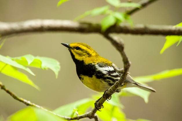 Top 5 Reasons to Attend The Biggest Week in American Birding