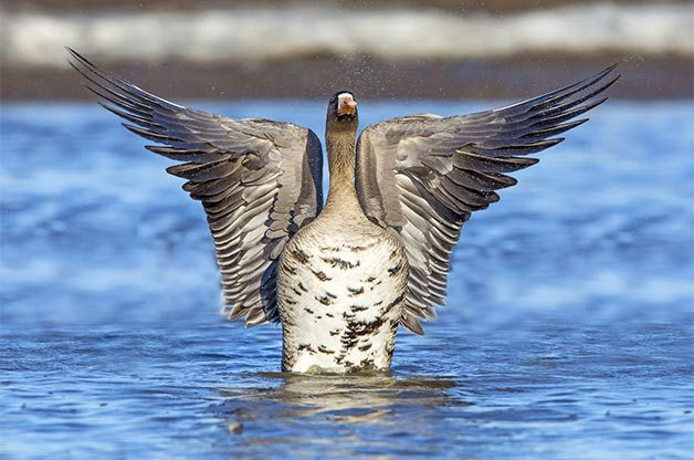 Birds like the greater whitefronted goose use the wetlands of the boreal forest during spring and fall migrations to and from their Arctic breeding grounds.