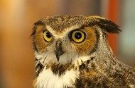 Great Horned Owls Will Be Nesting Soon