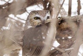 Bird Species Profile: Northern Saw-whet Owl
