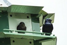 Purple Martins are Starting to Arrive
