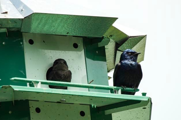 Have You Seen Purple Martins This Spring?