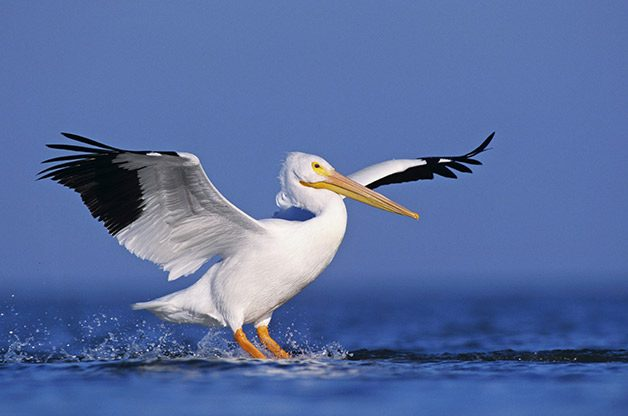 White pelicans spend winters at Ding Darling National Wildlife Refuge.