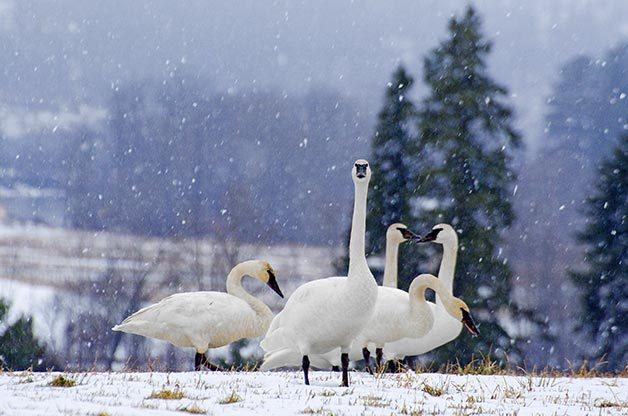 Trumpeter swans, shown here at their British Columbia wintering grounds, weigh more than any other North American waterfowl.