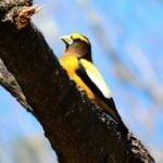 5 Grosbeaks Backyard Birders Should Know