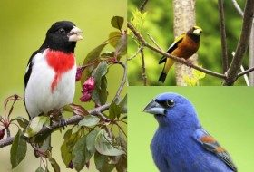 Get To Know Grosbeaks