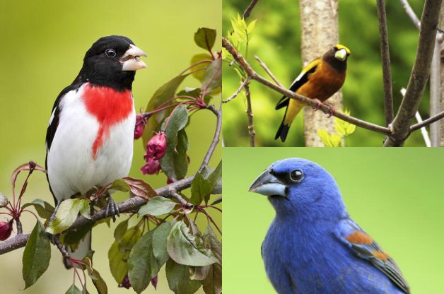 Get To Know Grosbeaks | Birds & Blooms Magazine