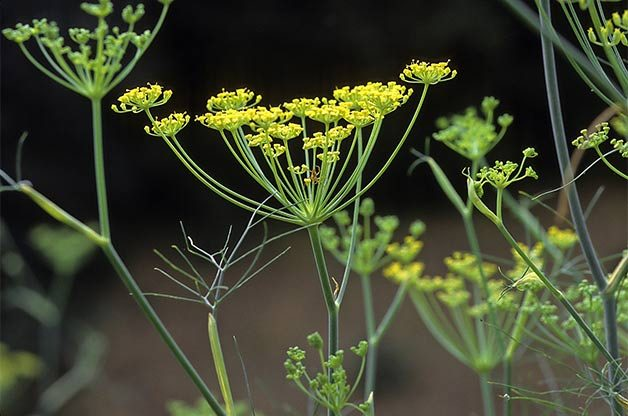 9 Little-known Herbs | Gardening | Birds & Blooms Magazine