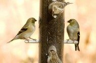 Choosing a Nyjer/Thistle Feeder for Finches