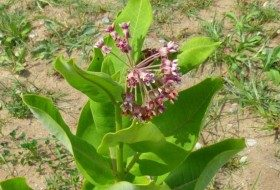 The Pros and Cons of Common Milkweed