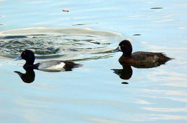 Florida Winter Ducks