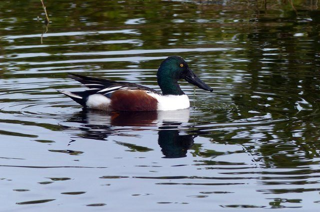 Florida Winter Ducks Northern Shoveler