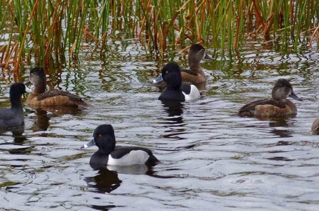 Florida Winter Ducks Ring Necks