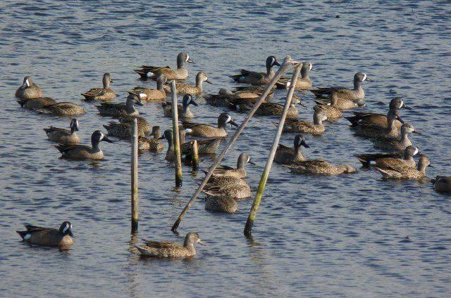 Florida Winter Ducks Teals