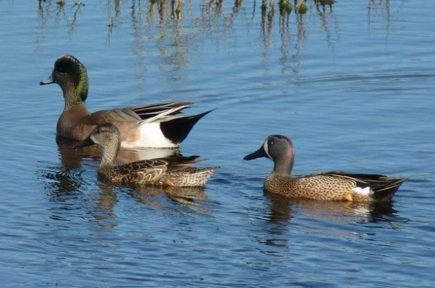 Florida Winter Ducks Wigeon Teals