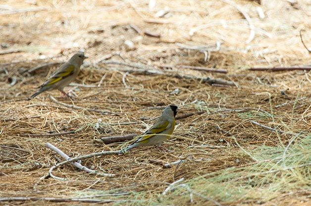 Goldfinches of the US