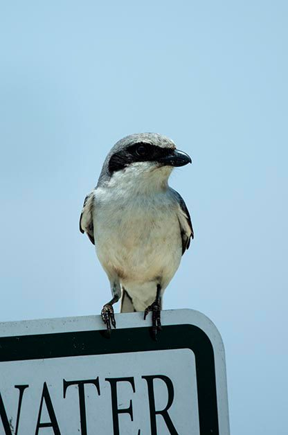 Which Shrike Am I Seeing?