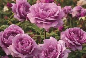 New Roses Sugar Plum Jackson Perkins
