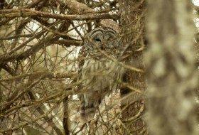 Watch a Barred Owl Nest!