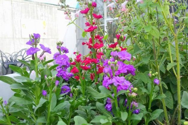 Fragrant Stock in the Flower Garden 4