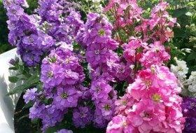 Add Fragrant Stock to Your Flower Garden