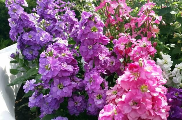 Fragrant Stock in the Flower Garden 6