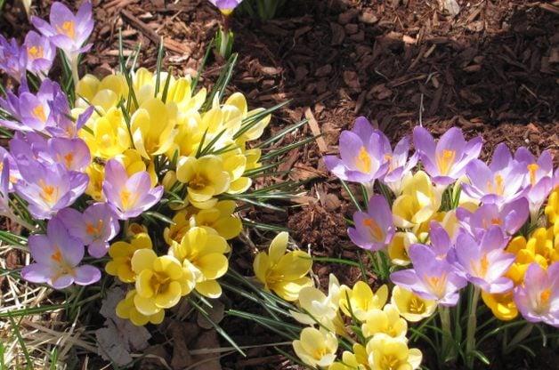Signs of Spring Crocus D Abercrombie