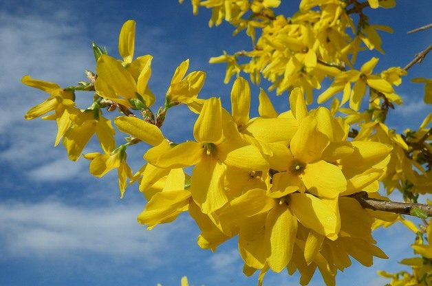 Signs of Spring Forsythia Sharon Wilhite