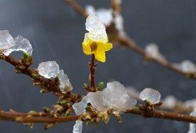 Signs of Spring: Forsythia and Redbud