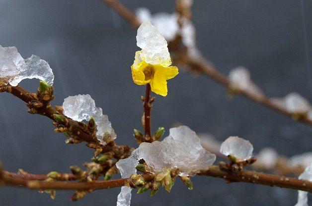 Signs of Spring Forsythia anikasmom