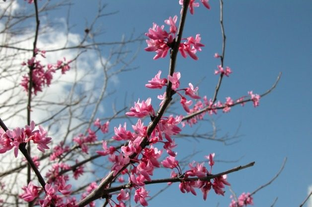 Signs of Spring Redbud
