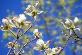 Signs of Spring: Viburnum and Dogwood
